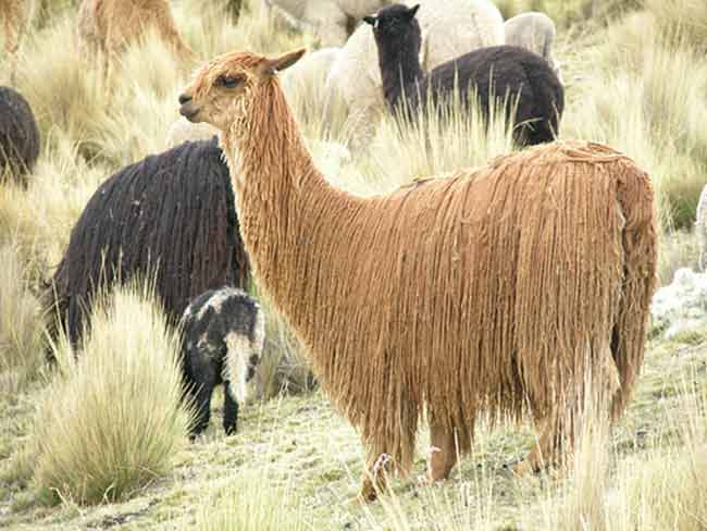 Suri alpaca and is a kind which has a long-fine glossy very soft wool fiber